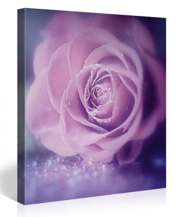 Rose gros plan – 1006198