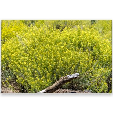 Gelbe Blumen Teneriffa – Bild 1