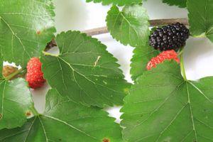 Maulbeere, schwarze - 20 Samen