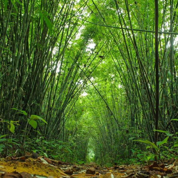 Moso Bambus - 20 Samen