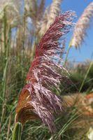 Pampasgras, rosa - min. 20 Samen