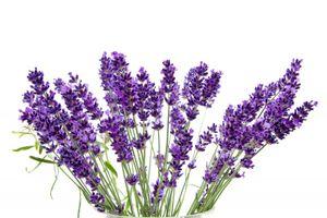 Lavendel - 100 Samen – Bild 2