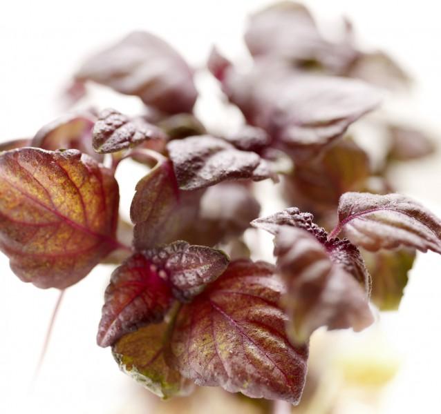 Rotes Perilla - Shiso - 100 Samen