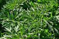 Wermut - 100 Samen