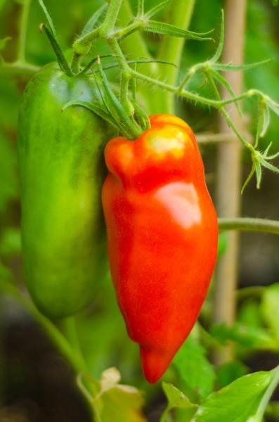 "Tomate ""San Marzano "" - 20 Samen"