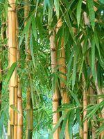 Riesenbambus - 20 Samen