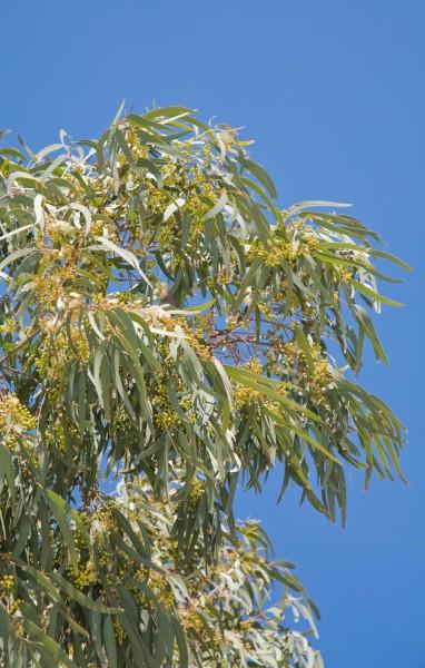 Schnee Eukalyptus - 30 Samen