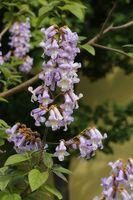 Paulownie, Chinesischer Blauglockenbaum - 20 Samen