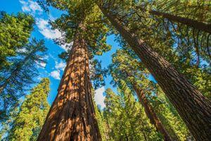 Berg- Riesenmammutbaum - 50 Samen – Bild 1