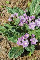 Alraune, Herbstblühende - 10 Samen