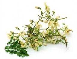 Meerrettichbaum PKM1 - 20 Samen