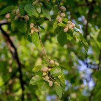Maulbeere, weiße 30 Samen