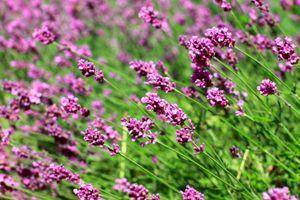 Lavendel, rosafarbig min. 30 Samen