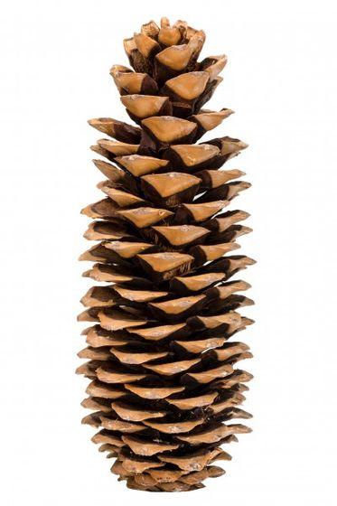Pinus lambertiana 20-25cm | Tannenzapfen  – Bild