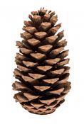 Pinus Maritima 14-18cm