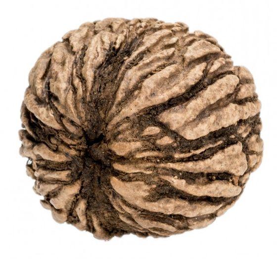 Schwarznuss Ø ca. 25-40 mm | Juglans nigra – Bild 1