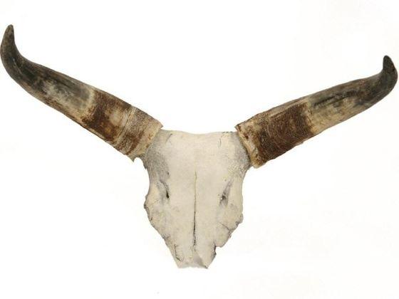 Schädelplatte ''S'' Kuhhorn -Rinderhorn -Watussi' – Bild