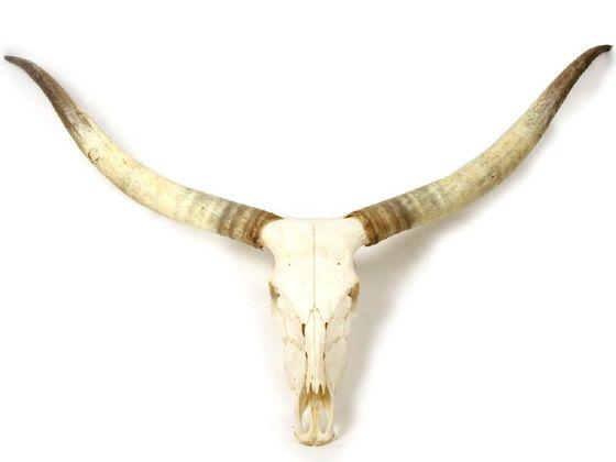 Rinderschädel mit Horn, ''L'' (Hornlänge 70-79' – Bild