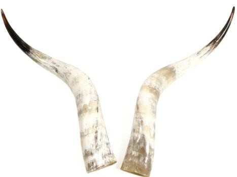 Rinderhorn Paar poliert 70-79cm