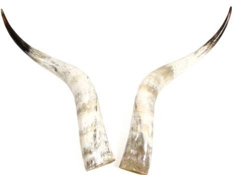 Rinderhorn Paar poliert 70-79cm – Bild
