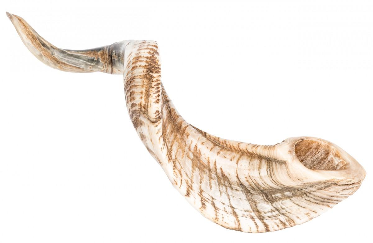 Schafshorn poliert 31-35cm | Schafhorn