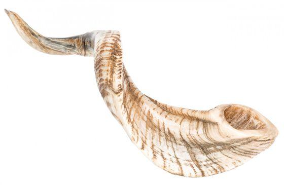 Schafshorn poliert 31-35cm | Schafhorn – Bild 1
