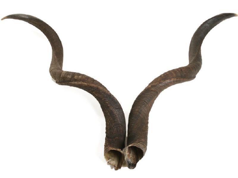 Kuduhorn Paar 50-59cm | Kudu Horn Paar