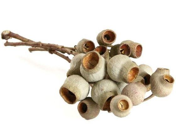 Honkynut - Eucalyptus Zweig mit 3-5 Früchten – Bild