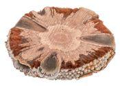 Banksia Grandis Scheibe Ø6-8cm – Bild 1