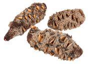 Banksia Attenuata Zapfen ca. 10-15cm – Bild 2