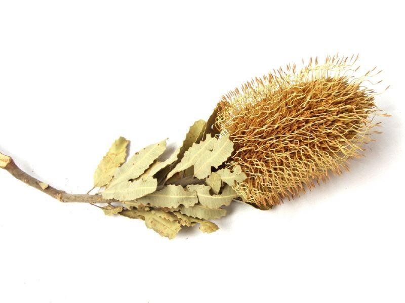 Banksia Sceptrum mit Blätern - Banksia Zapfen