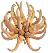 Spidergum Klaue 6-8cm | Eucalyptus Lehmannii  – Bild 1