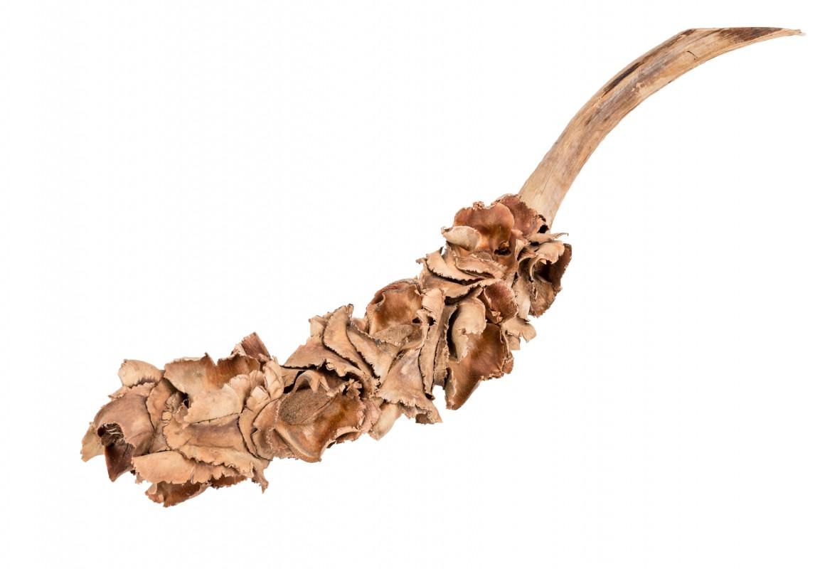 Nussblüten Zweig 25-40cm