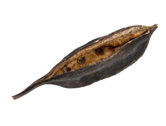 Brachyciton Blüten lose ca. 8-11cm – Bild 1