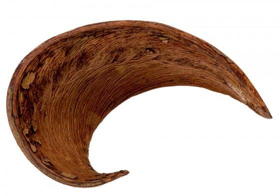 Hornschote natur ca. 10-12cm – Bild