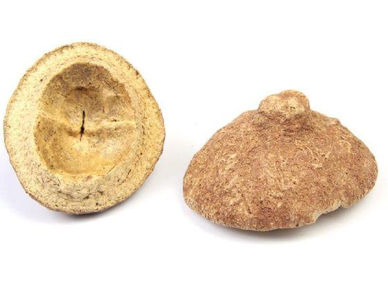 Sapucaia Deckel ca. 6-10 cm – Bild 3