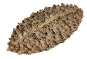Bolsa de pastor ca. 5-8cm | Zeyheria montana Mart – Bild 2