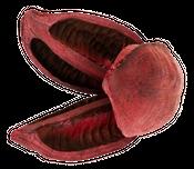 Sororoca Frucht rot ca.10-15cm – Bild 1