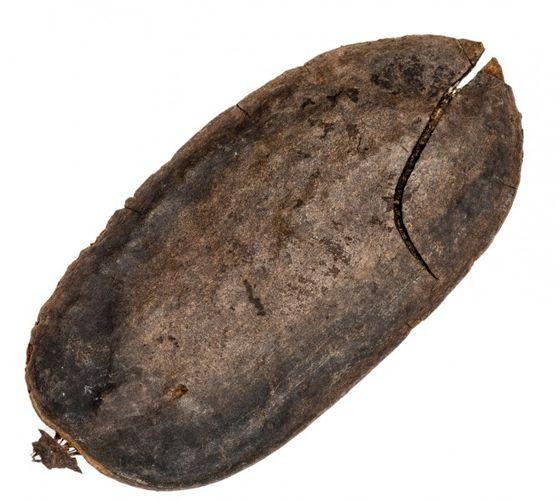 Para Para ca. 10-14cm | Jacaranda oxyphilla – Bild 2