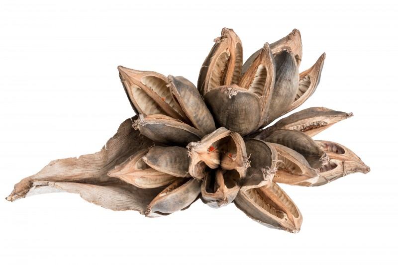 Sororoca Knospe natur ca. 20-30cm
