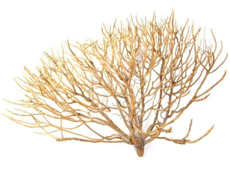 Korallen Holz Øca. 50cm
