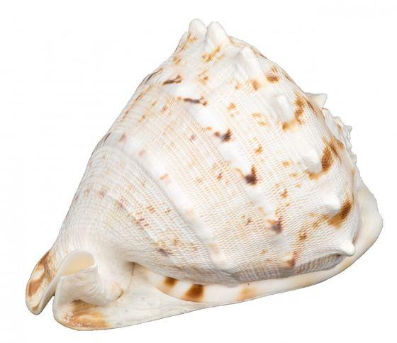 Cassis cornuta ca. 13-16cm – Bild 1