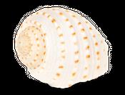 Tonna tessellata ca. 8cm – Bild 1