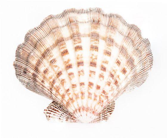 Lyropecten subnodosus 12-14cm – Bild 1
