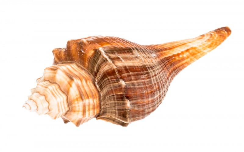Volema carinifera 8cm