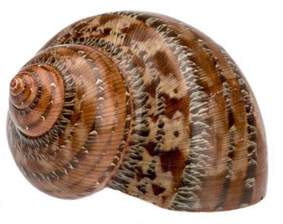 Turbo petholatus ca. 4-7cm – Bild