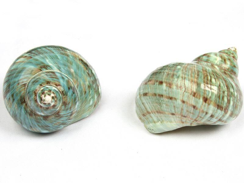 7cmTurbo Burgosgroßes Schneckenhaus NaDeco® Turbo marmoratus poliert ca