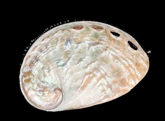 Haliotis fulgens 5-7cm poliert | Abalone Schnecke – Bild 1
