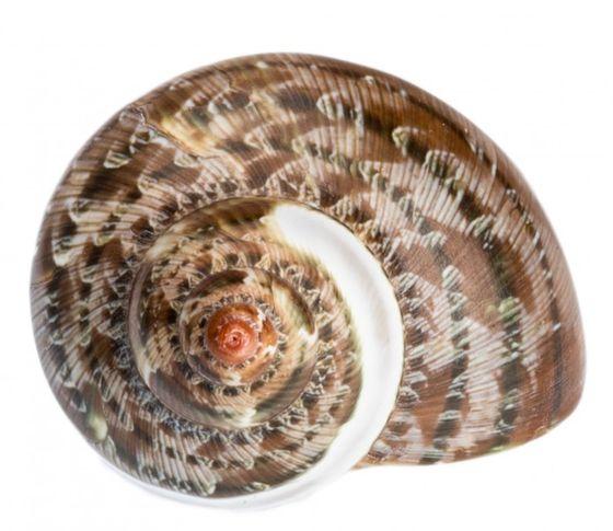 Turbo petholatus gestreift – Bild