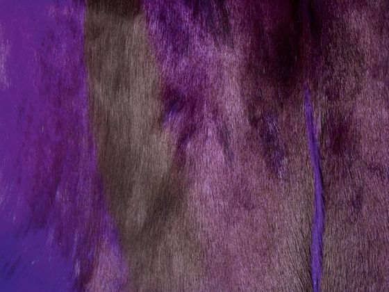 Springbockfell violett – Bild